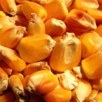 Niska cena kukuruza